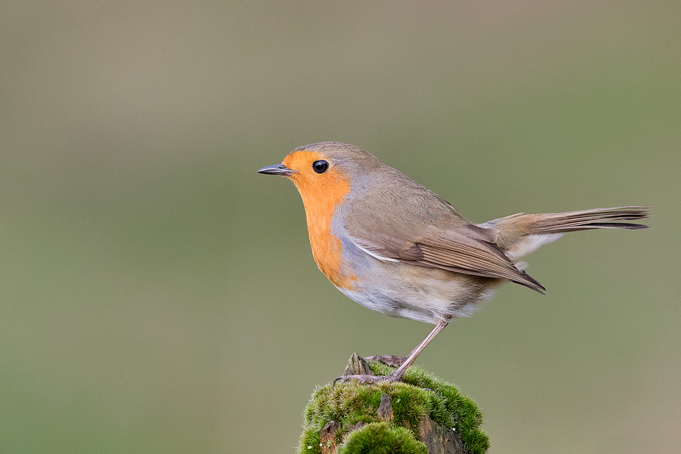 A Robin (Erithacus rubecula) perched on a mossy log, Derbyshire, Peak District National Park.