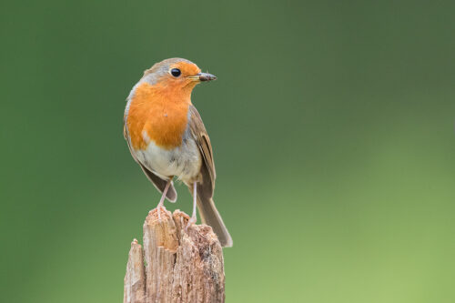 A Robin (Erithacus rubecula) with a spider in its beak, Thursley National Nature Reserve, Godalming.