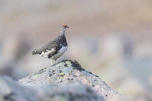 A Rock Ptarmigan, standing proudly after chasing off a competitor. Cairngorms National Park, Scotland. Another member of the grouse family, many people choose not to photograph ptarmigan during the Spring, but I think they look fantastic in their patchwork plumage!  As I hadn't photographed them before, I wasn't entirely sure where to go. But after some research on typical habitat, I began the two-hour hike into the mountains to begin my search. After a fruitless couple of hours, I eventually heard the distinctive croaking calls high up on the mountain side. Ptarmigan are amazingly well camouflaged in their habitat, so although I could hear them, I couldn't see any birds at all! All I could do was sit and wait for one to show itself, and show they did!  In flight the white wings stand out like a sore thumb against the dusty red rock and I carefully manoeuvred through the boulder field towards where it had landed. Although initially they were very wary of me, I was amazed at how confiding they were when approached with proper fieldcraft and I was able to get within a couple of metres of several individuals. This striking male was very feisty, displaying and chasing off any competitors hoping for a chance with his lady, hidden away in the rocks.