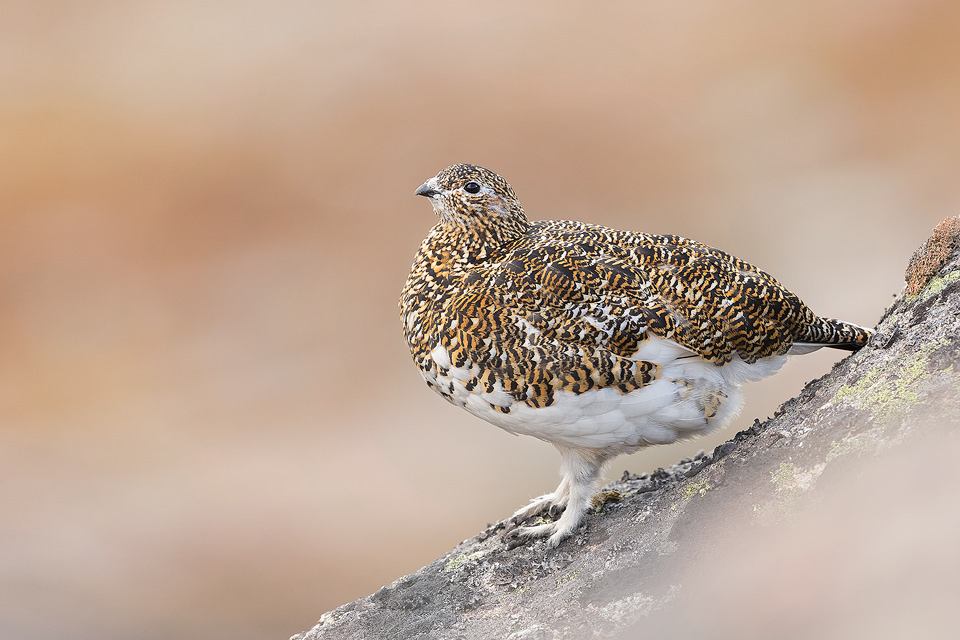 Female Ptarmigan. Cairngorms National Park, Scotland. Another member of the grouse family, many people choose not to photograph ptarmigan during the Spring, but I think they look fantastic in their patchwork plumage! As I hadn't photographed them before, I wasn't entirely sure where to go. But after some research on typical habitat, I began the two-hour hike into the mountains to begin my search. After a fruitless couple of hours, I eventually heard the distinctive croaking calls high up on the mountain side. Ptarmigan are amazingly well camouflaged in their habitat, so although I could hear them, I couldn't see any birds at all! All I could do was sit and wait for one to show itself, and show they did! In flight the white wings stand out like a sore thumb against the dusty red rock and I carefully manoeuvred through the boulder field towards where it had landed. Although initially they were very wary of me, I was amazed at how confiding they were when approached with proper fieldcraft and I was able to get within a couple of metres of several individuals. This striking male was very feisty, displaying and chasing off any competitors hoping for a chance with his lady, hidden away in the rocks.