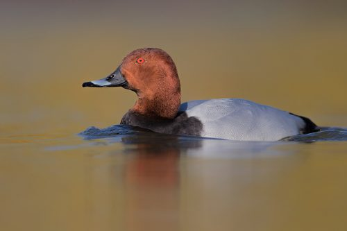Male Common Pochard on a small inland lake, Winter, Derbyshire UK. Lying at water level for several hours is not the most comfortable activity but well worth it to get right down to eye level with the birds and minimise distractions.