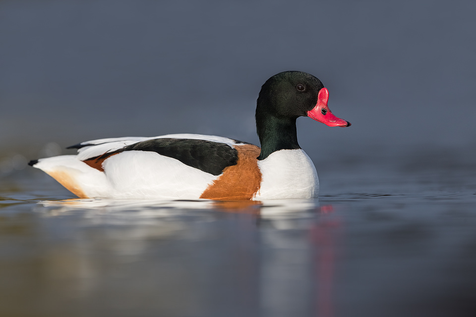 A male Shelduck floating on the gentle current at a small reservoir, Winter, UK. Lying at water level for several hours is not the most comfortable activity but well worth it to get right down to eye level with the birds and minimise distractions.