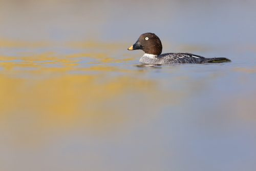 Female Goldeneye on a small inland lake, Winter UK. Lying at water level for several hours is not the most comfortable activity but well worth it to get right down to eye level with the birds and minimise distractions.