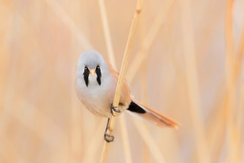 The bearded reedling, one of our most distinctive and easily recognisable native birds. These shy birds have eluded me many times over the years, so when a friend told me about an unusually confident male I jumped at the chance to photograph it. Here he paused for me in the classic pose on the reed stems.