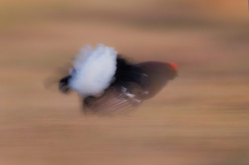 Abstract Black Grouse at the Lek, Cairngorms National Park. As the light levels were too low for action shots I decided to take the opportunity to produce some abstract images, using a slow shutter speed as the charged at one another in the gloom. The lek is one of the most incredible wildlife experiences I have ever witnessed, the sounds through the dark are out of this world!