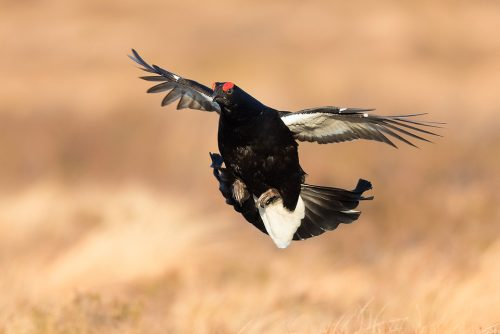 Black Grouse in Flight, returning to the Lek, Cairngorms National Park. Periodically some of the birds will fly off mid-lek giving the impression the action has finished. More often than not though the birds return offering the opportunity for some flight shots. The lek is one of the most incredible wildlife experiences I have ever witnessed, the sounds through the dark are out of this world!