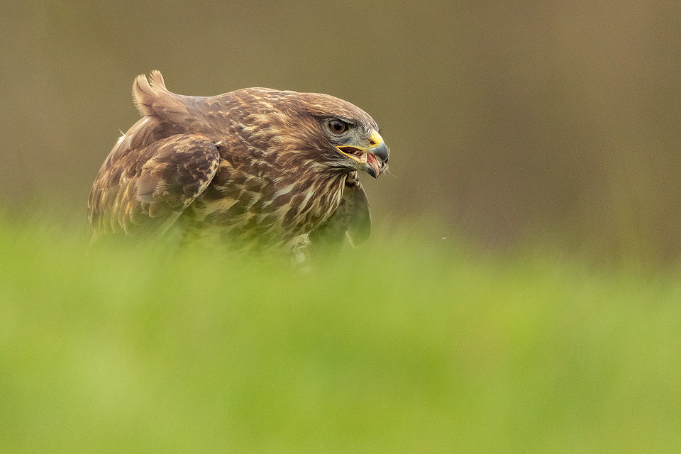 Common buzzard feeding on pheasant carcass. Derbyshire, UK. After an incredibly early start I got to the hide in darkness and settled in the hide ready for the birds to come in. As food is only provided sporadically, ensuring the buzzards don't become dependent, the birds were very much wild and visits were few and far between. Nevertheless it was a great experience watching this distinctive raptor swoop down and tear into the roadkill, unaware of us aside from the strange clicking sound coming from the wooden box!