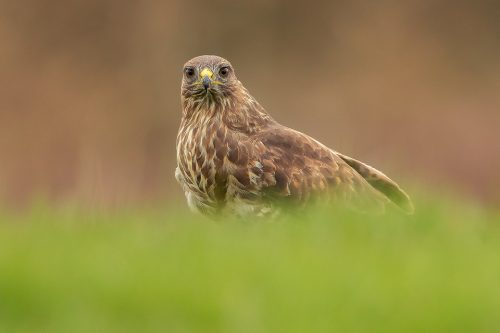 A common buzzard staring straight down the lens. Derbyshire, UK. After an incredibly early start I got to the hide in darkness and settled in the hide ready for the birds to come in. As food is only provided sporadically, ensuring the buzzards don't become dependent, the birds were very much wild and visits were few and far between. Nevertheless it was a great experience watching this distinctive raptor swoop down and tear into the roadkill, unaware of us aside from the strange clicking sound coming from the wooden box!