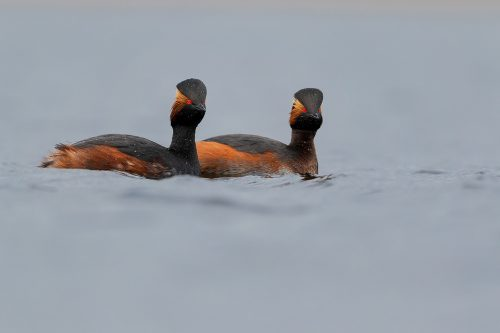 A pair of Black necked grebes in stunning breeding plumage, Yorkshire UK. Black necked grebes are incredibly rare breeding birds in the UK, estimated at just 32-51 pairs, half of which are found in my home county of Yorkshire! In late winter I spent several days photographing a pair as they warmed up to the breeding season and disappeared into the dense reed beds.