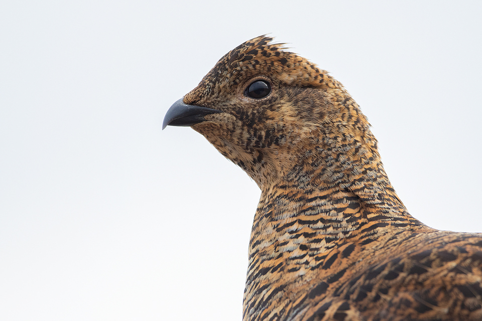 Close up Gray Hen portrait taken at the Lek, Cairngorms National Park.The lek is one of the most incredible wildlife experiences I have ever witnessed, the sounds through the dark are out of this world!