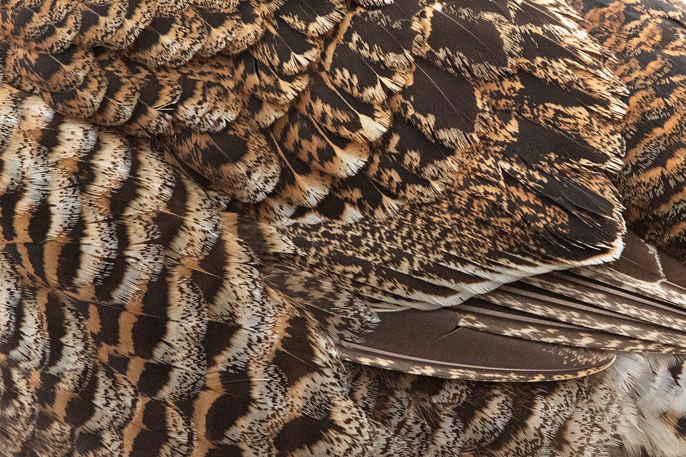 Gray Hen Feathers. Close up detailed image of the wings and feathers of a gray hen (female black grouse) taken at the Lek, Cairngorms National Park.The lek is one of the most incredible wildlife experiences I have ever witnessed, the sounds through the dark are out of this world!