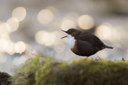 Dipper Beak Stretch. Backlit dipper stretching its beak muscles next to a waterfall with Bokeh Background.
