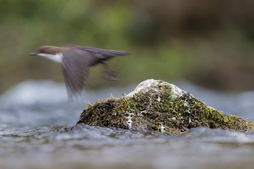Dipper in Flight. Abstract image of a Dipper taking off from a mossy rock. I chose to use a slow shutter speed and blur the dipper, giving a sense of movement.