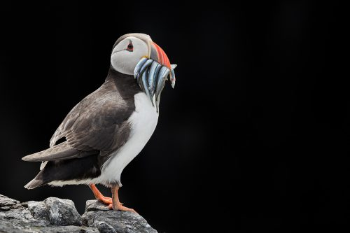 Atlantic puffin on black. I noticed the puffins flying into here with beaks full of sand eels and used the bright late morning sunshine to expose for the puffin whilst enabling me to black out the background; a dark area of cliff in deep shade.