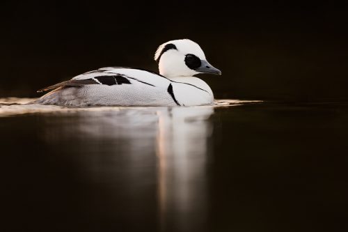 Striking male Smew backlit by the the last rays of afternoon light. Winter, UK. Smews visit Britain in small numbers over winter from the continent and are typically found on small inland lakes and rivers and along our extensive coastline.