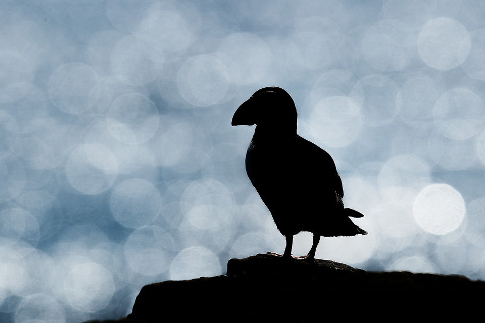Puffin Silhouette. Distinctive shape of an Atlantic puffin silhouetted against the ocean with the glistening light creating a Bokeh. Farne Islands, UK.