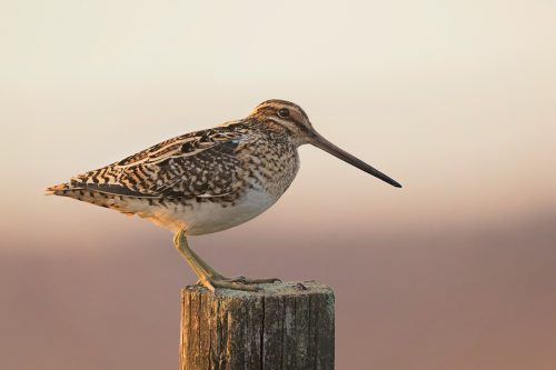 Snipe perched on a weathered fence post in late evening light. Spring, Derbyshire, Peak District National Park.