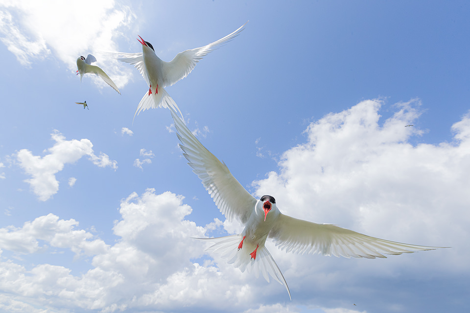 Group of Arctic Terns in Flight, taken on Inner Farne Island bird sanctuary in Northumberland. The terns on the island are fiercely defensive of their nest sites, attacking anyone who dares to walk by! Here I was able to use my wide angle lens to show the terns against the blue cloudy sky. Although it may seem irresponsible to disturb the birds during the nesting season, the human presence on the island has actually meant much higher breeding success for the birds as it keeps the predators away. During the summertime around 150,000 breeding pairs of seabirds flock to the Farne Islands to nest. With such huge numbers crammed onto these tiny islands they are undoubtedly one of the best places in the UK to get close to sea birds.