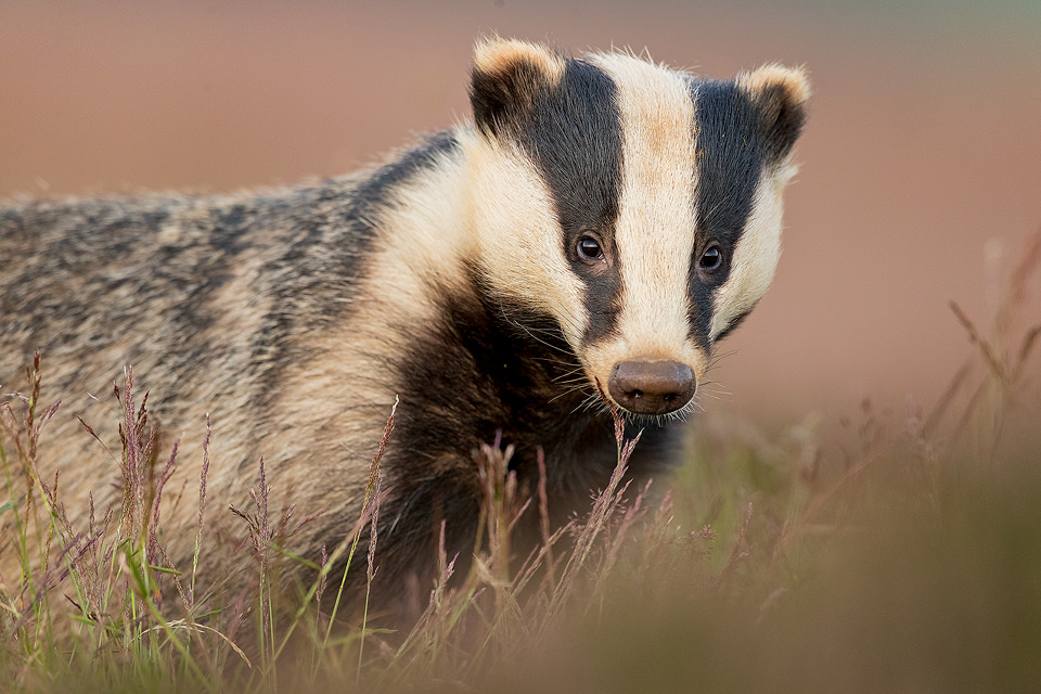 Badger Portrait. Derbyshire, Peak District NP.Over time this young badger got completely used to my presence near the sett. As a result he didn't react at all to noise or slight movement. Despite this I always keep as quiet and still as possible for fear of breaking the trust built up with these incredibly timid creatures.