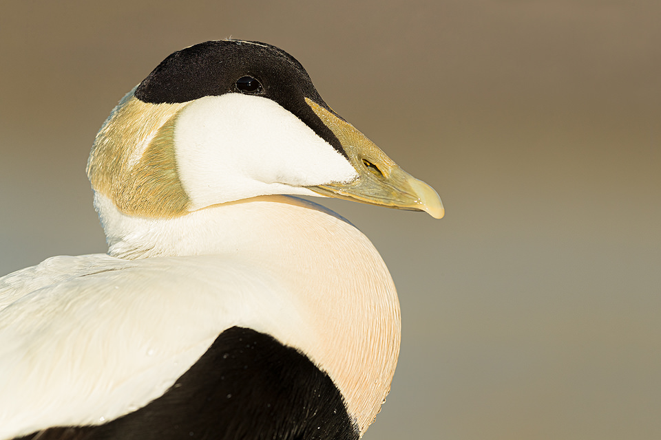 Close up of a male eider duck in breeding plumage illuminated by warm evening sunshine. Northumberland. UK