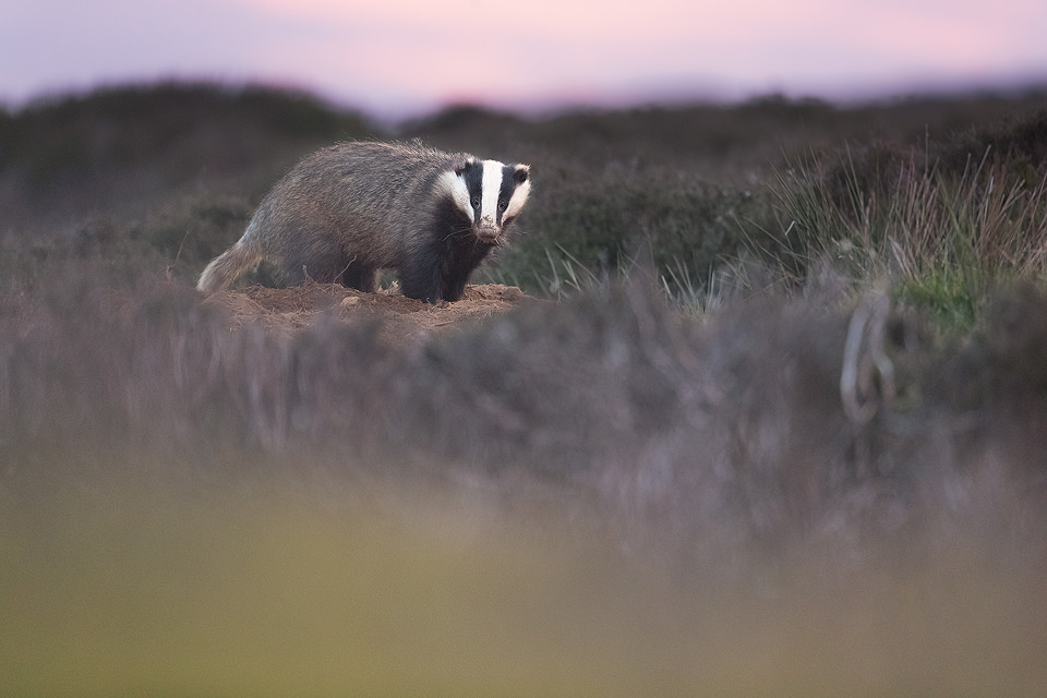 Moorland Badger. An adult badger stands at an entrance to the sett in open heather Moorland,Derbyshire, Peak District NP. Despite being incredibly shy and elusive, badgers are one of my favourite British species to photograph.