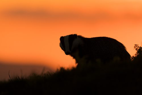 Badger Silhouette. An adult badger poses in front of a colourful sunset sky, allowing me to create this silhouette. Derbyshire, Peak District National Park. No matter how much time I spend with badgers it's always an amazing experience and a real treat to have the trust of these elusive and shy animals.