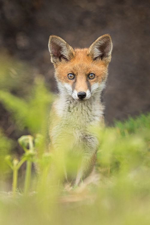Alert Fox Cub, Derbyshire, Peak District National Park. I haven't had very good luck photographing rural foxes over the years thanks to their secretive nature and heavy persecution. The times I have spent with them though have always been magical and will stay with me forever.