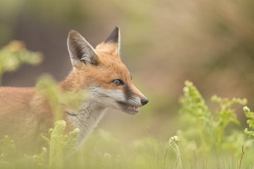 Fox cub, Derbyshire, Peak District National Park. I haven't had very good luck photographing rural foxes over the years thanks to their secretive nature and heavy persecution. The times I have spent with them though have always been magical and will stay with me forever.