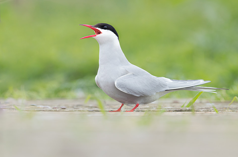 Calling Artic Tern. Here I lay on the boardwalk to get to eye level with the birds. During the summertime around 150,000 breeding pairs of seabirds flock to the Farne Islands to nest. With such huge numbers crammed onto these tiny islands they are undoubtedly one of the best places in the UK to get close to sea birds.