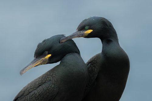 A tender moment between a pair of shags as they strengthen their bond. Nothumberland, UK. During the summertime around 150,000 breeding pairs of seabirds flock to the Farne Islands to nest. With such huge numbers crammed onto these tiny islands they are undoubtedly one of the best places in the UK to get close to sea birds. About Shags: Often confused with the much larger Cormorants, shags have emerald green eyes and dark green glossy plumage with a distinctive crest on the front of their heads. During the breeding season they flock to coastal sites where they gather in vast numbers.