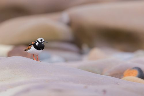 Adult turnstone in summer breeding plumage standing amongst different coloured rocks. Northumberland coast, UK.