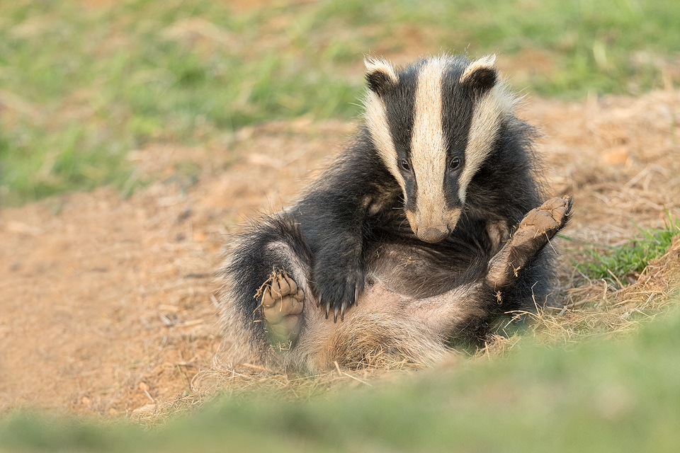 Badger cub having a good scratch at the sett. Derbyshire, Peak District NP. As cubs get older they tend to become more nocturnal but in late Spring and early Summer they're still typically the first to emerge from the sett. This is often around 6-7pm which is ideal for photography as there's still plenty of sunlight! Despite being incredibly shy and elusive, badgers are one of my favourite British species to photograph.
