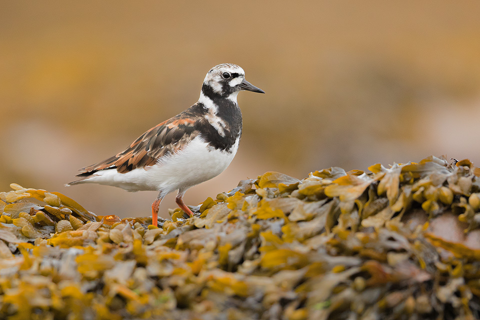 Turnstone pauses on a seaweed covered boulder, Northumberland coast, UK. I was watching this turnstone skittering along the beach when it suddenly paused on the seaweed to check me out.