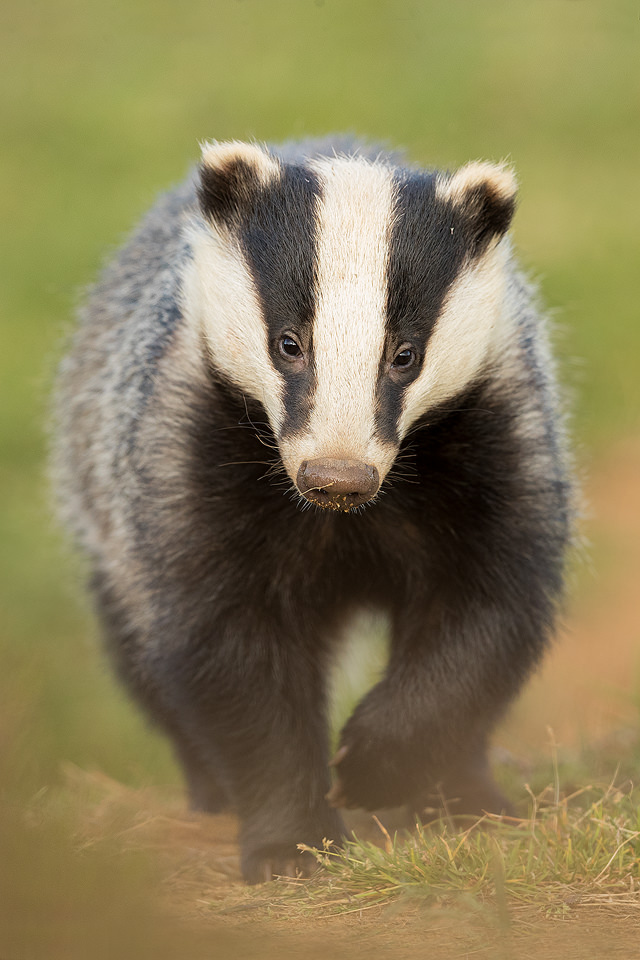 Young Badger, Derbyshire, Peak District NP. Over time this young badger got completely used to my presence near the sett and didn't react at all to noise or slight movement. Despite this I would always keep as quiet and still as I could for fear of breaking the trust I had built up with these incredibly timid creatures. Despite being incredibly shy and elusive, badgers are one of my favourite British species to photograph.