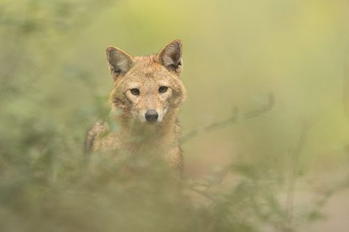 Golden Jackal Portrait, New Delhi, India. These wolf like canids are incredibly wary and have been very difficult to photograph. However after lots of perseverance and a change in tactics I finally started to get some good results! These Indian Golden Jackals have adapted well to life in an urban environment, scavenging leftover bread and fruits brought for the monkeys and feral cows and pigs in Delhi's ridge forest.