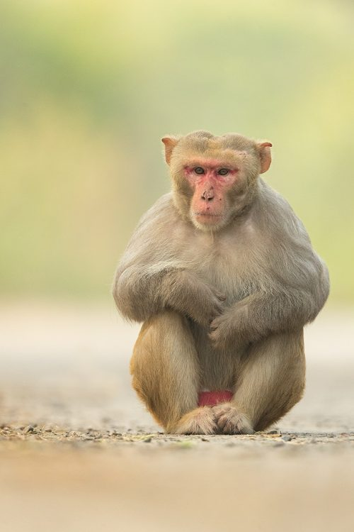 Dominant Male Rhesus Macaque, Ridge Forest, New Delhi, India. Rhesus Macaques inhabit many of New Delhi's many green spaces and have adapted incredibly well to urban life.