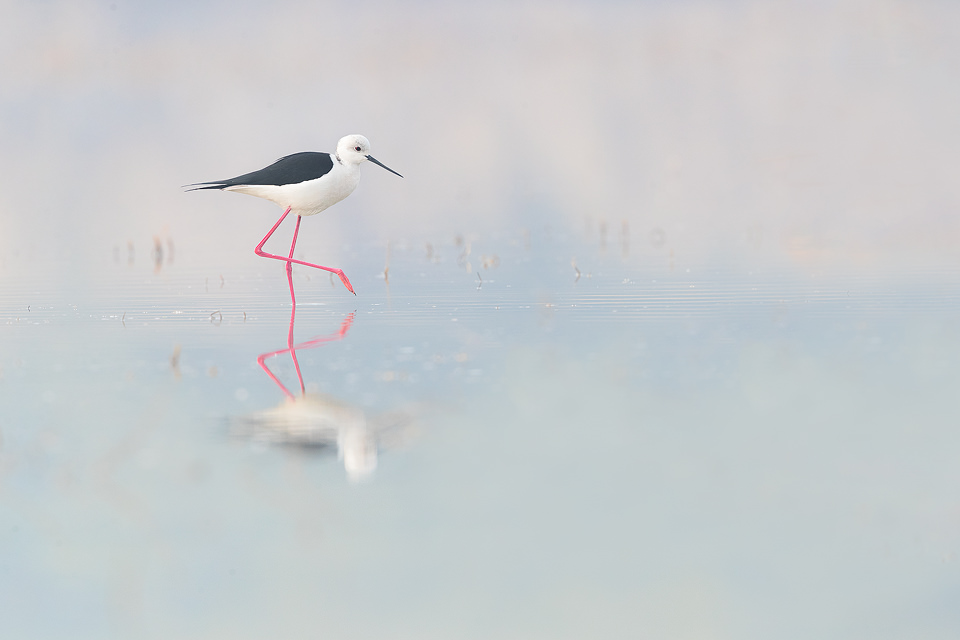 Black-winged stilt wading through a shallow pool, Sultanpur National Park, Haryana, India. Windless foggy days are notorious here in Northern India and although I would sometimes like a bit more light, it's perfect for capturing reflections and soft subtle colours. Just look at those legs!