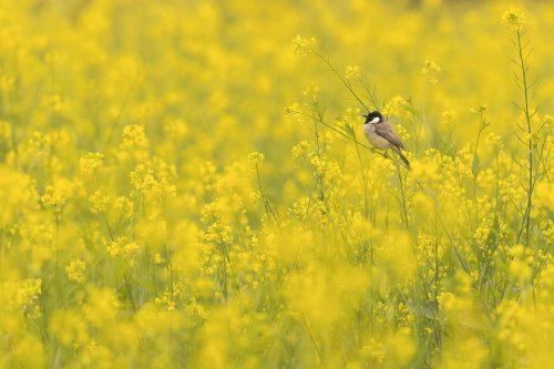White-eared Bulbul in Mustard Field