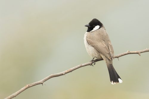White-eared Bulbul perched on a thorny branch. Haryana, India.