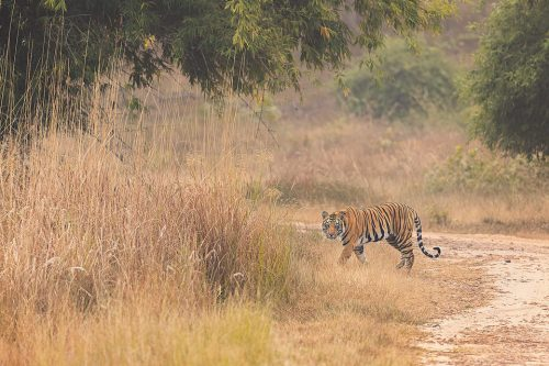 A young male tiger cautiously crosses the track and melts back into the long grass. Bandhavgarh National Park, Madhya Pradesh, India