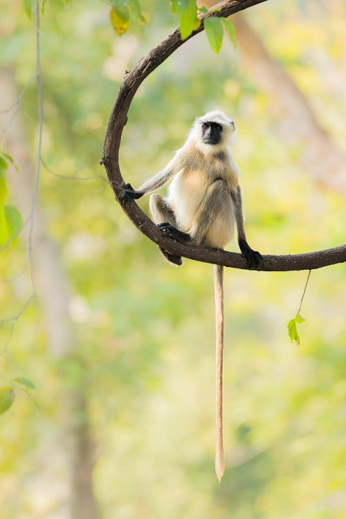 Gray langur on a thick jungle vine, here you can see their incredibly long tail! Bandhavgarh National Park, Madhya Pradesh, India. These old world monkeys are named after the Hindu monkey god, Lord Hanuman, and are regarded as sacred in India.