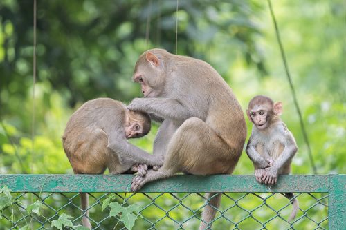 Rhesus Macaque familygrooming on top of a fence. New Delhi, India.Rhesus Macaque inhabit many of New Delhi's many green spaces and have adapted incredibly well to urban life. This particular troop live by a busy park lake in Hauz Khas. Here the locals aren't so keen on these mischievous wild monkeys and employ guards with sticks to keep them under control.