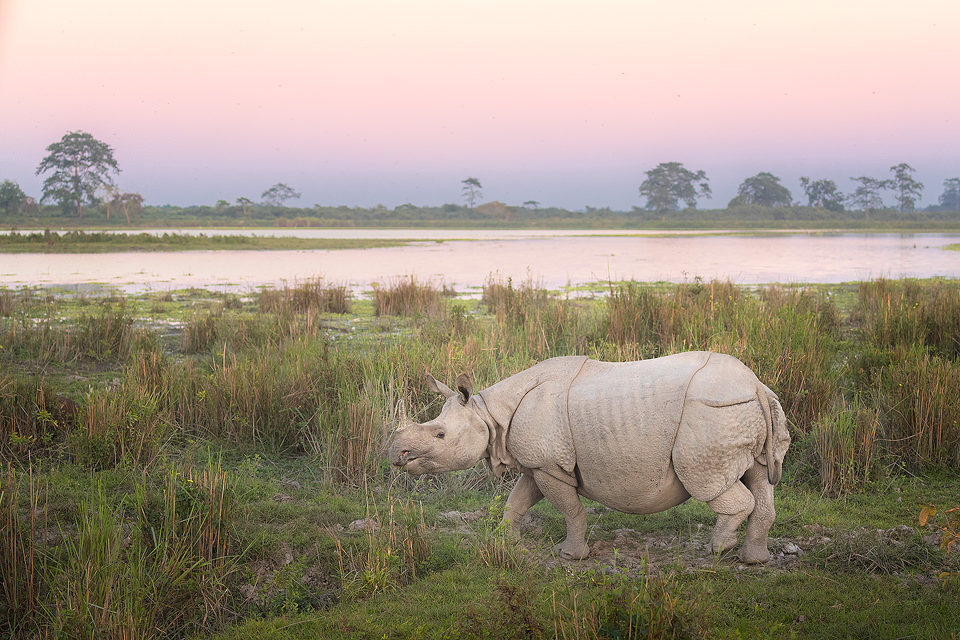 Indian rhinoceros, shown in wetland habitat at sunset, Assam, India. Thanks to their enormous size and thick armour-like hide, rhinos have no natural predators. Despite this they are notoriously grumpy and easily spooked. When they feel threatened they tend to charge directly at whatever has scared them!