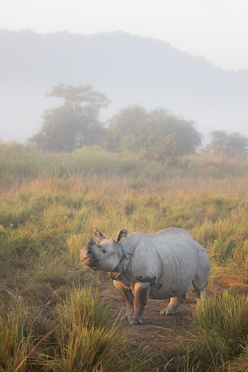 Indian rhino standing in elephant grass in warm morning sunshine. Assam, India. Thanks to their enormous size and thick armour-like hide, rhinos have no natural predators. Despite this they are notoriously grumpy and easily spooked. When they feel threatened they tend to charge directly at whatever has scared them!