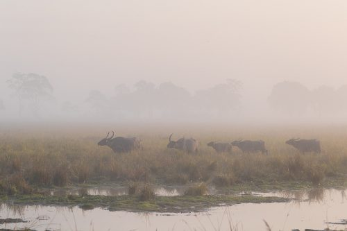 A herd of Asiatic Water Buffalo crossing the grassy plains in dawn fog. Kaziranga National Park, Assam, India.