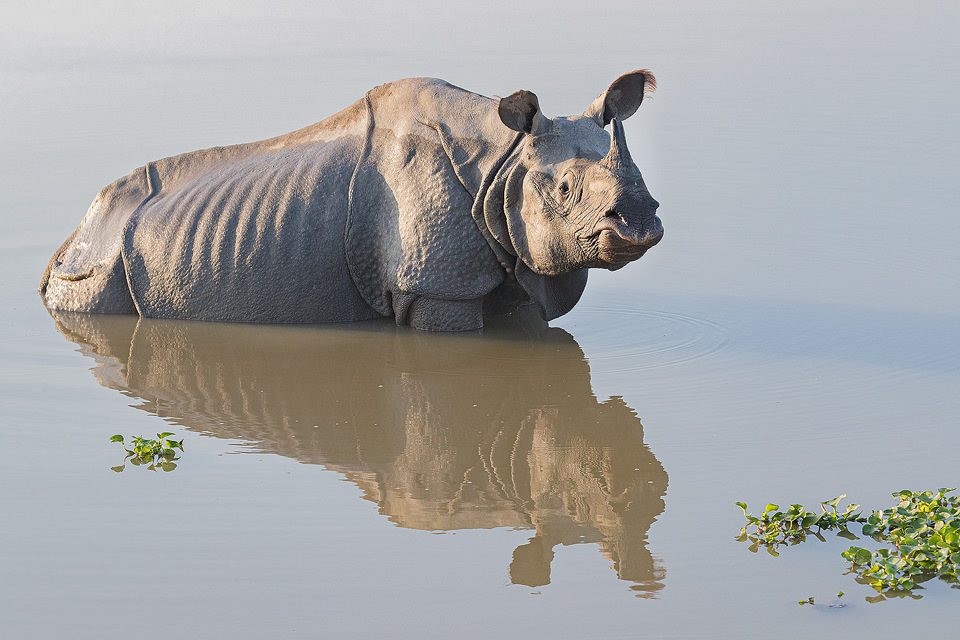 Indian rhinoceros, cooling off in a grassland pool, Assam, India. Thanks to their enormous size and thick armour-like hide, rhinos have no natural predators. Despite this they are notoriously grumpy and easily spooked. When they feel threatened they tend to charge directly at whatever has scared them, including our jeep!