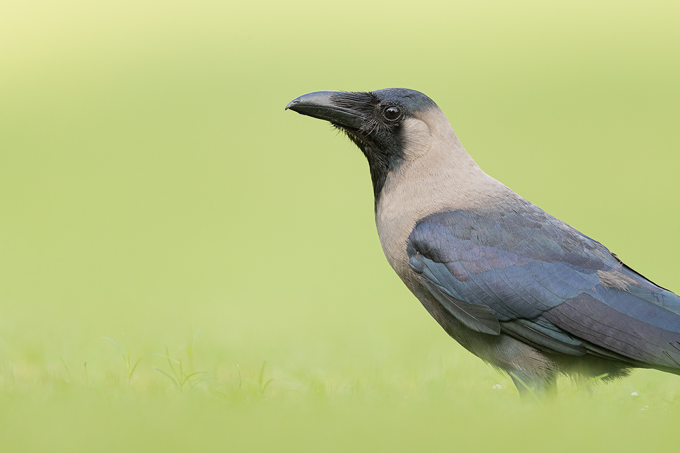 House Crow portrait, New Delhi, India.