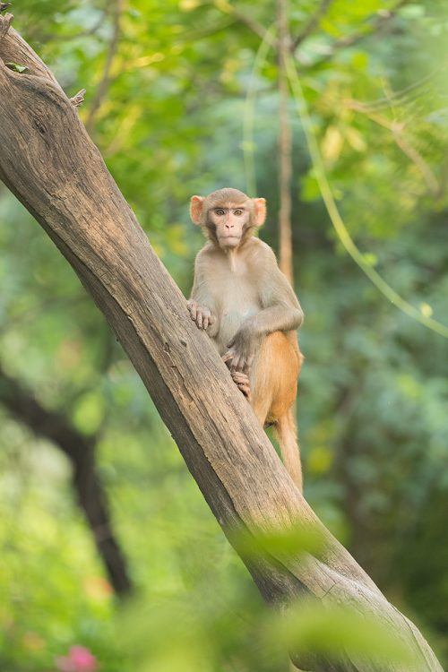 Young Rhesus Macaque in the jungle, New Delhi, India.Rhesus Macaques inhabit many of New Delhi's many green spaces and have adapted incredibly well to urban life.