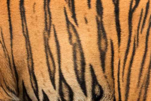 Tiger Stripes. Close up of a large male tigers stripe pattern, Bandhavgarh National Park, Madhya Pradesh, India