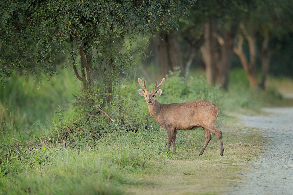 A Hog Deer Stag crosses the track at dusk, pausing to look towards our jeep. Kaziranga National Park, Assam, India.